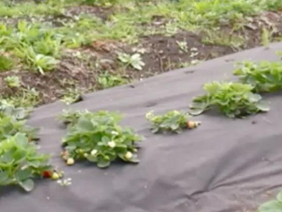 Как вырастить ремонтантную клубнику в открытом грунте
