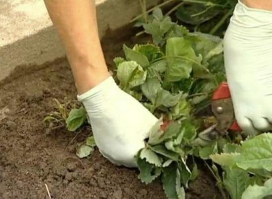как выращивать ремонтантную клубнику