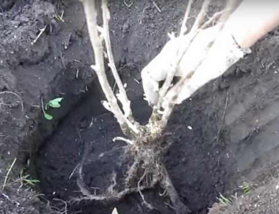 Выращивание и уход за смородиной: посадка, способы размножения