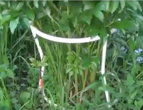 Пион травянистый выращивание, уход, посадка