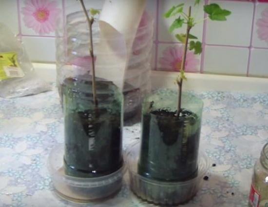 выращивание и уход за смородиной