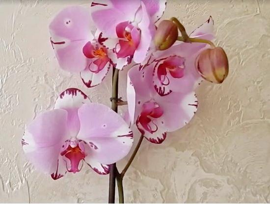 Как ухаживать за орхидеей в домашних условиях: пересадка, полив, обрезка