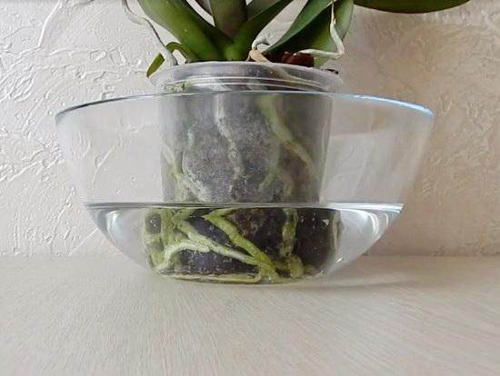 как ухаживать за орхидеей в горшке в домашних условиях