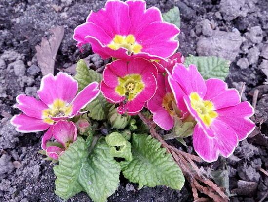 весенние цветы садовые многолетники