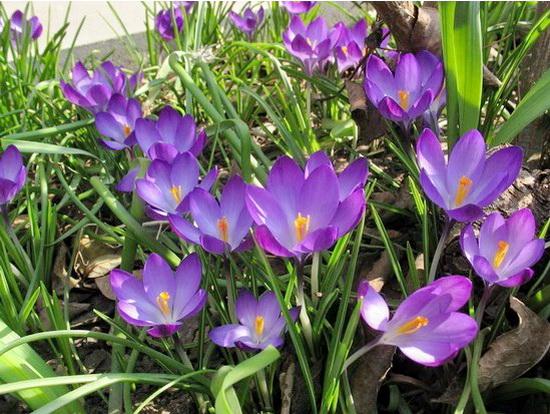 Весеннние цветы садовые многолетники: как украсить свой участок