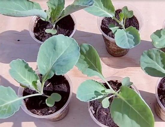Как вырастить капусту из семян в домашних условиях на рассаду