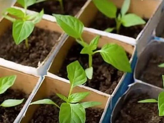 Когда сажать перец на рассаду: весна 2021