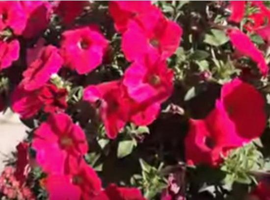 как вырастить рассаду петунии в домашних условиях